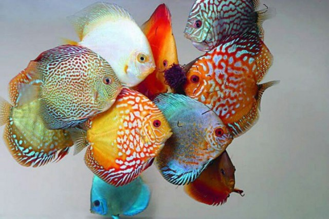 discus breed fish