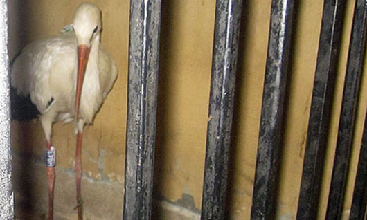 A stork is held in a police station in Egypt on suspicion of spying. Photograph: AP