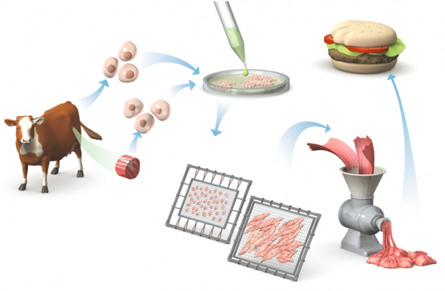 Diagram of the steps in making in vitro meat