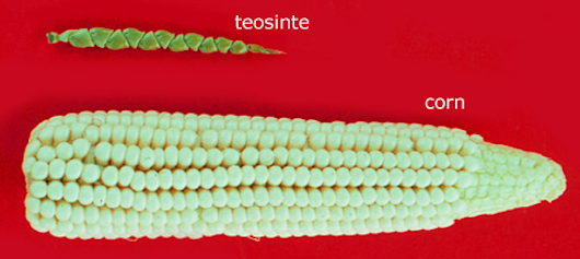 corn vs. teosinte