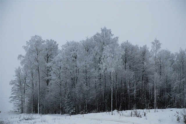 birch trees covered in frost