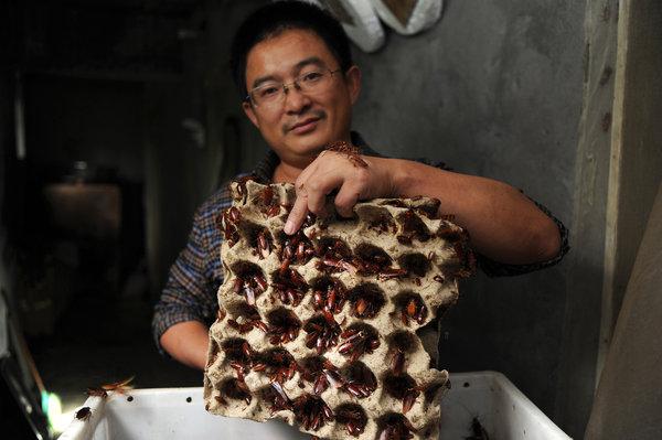 cockroach farming