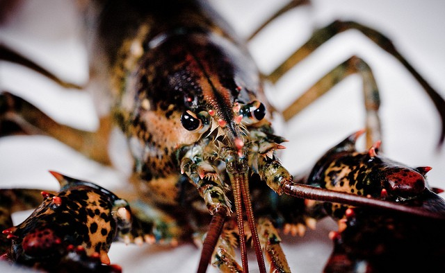 overabundance of lobsters global warming overfishing