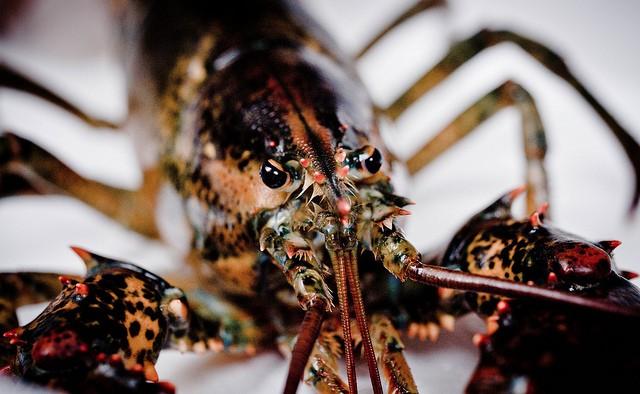 overabundance of lobsters global warming overfishing