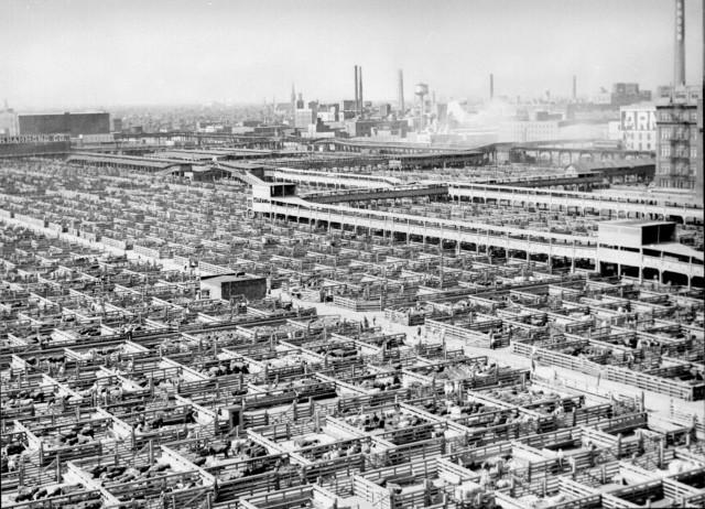 1280px-Livestock_chicago_1947