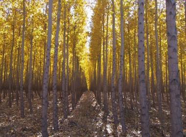 chapple-poplars