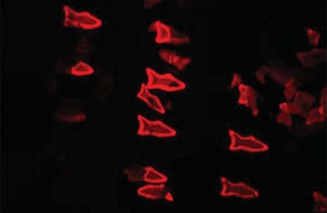 fluorescent-microfish-image