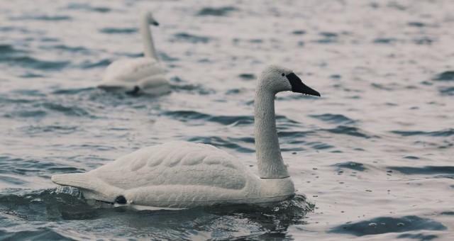 robot-swan