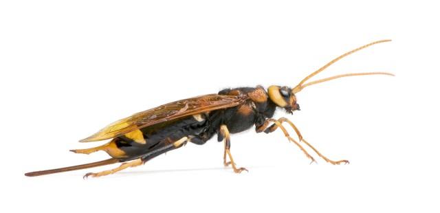 bigstockphoto_Horntail_Wasp_Urocerus_Gigas__6207608