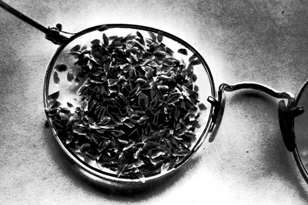 Cinchona seeds brought out of the Philippine islands before the Japanese invasion (1943)