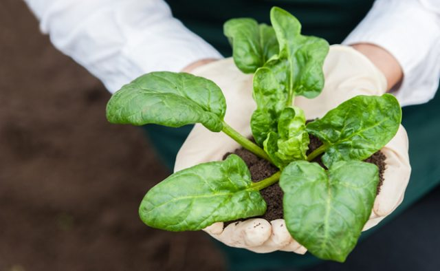 Introducing nanobionic spinach plants that can detect explosives.