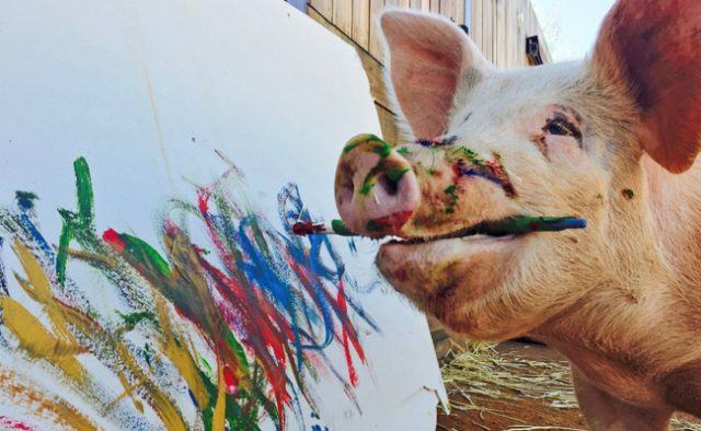 Meet Pigcasso the painting pig