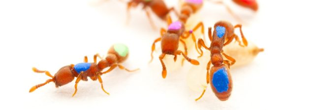 gene modification gives insight in the work of an ants tribe