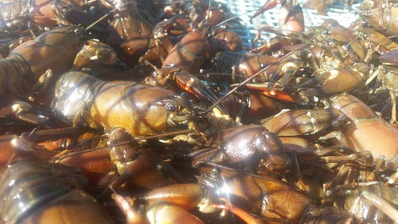 bild 3 av Crayfishing for family