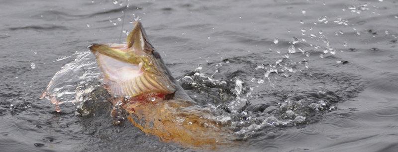 Fisketävling - Årets gäddtrolling preview bild
