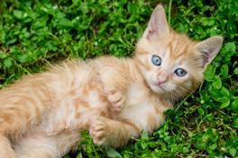 Röd kattunge ligger på rygg i gräset