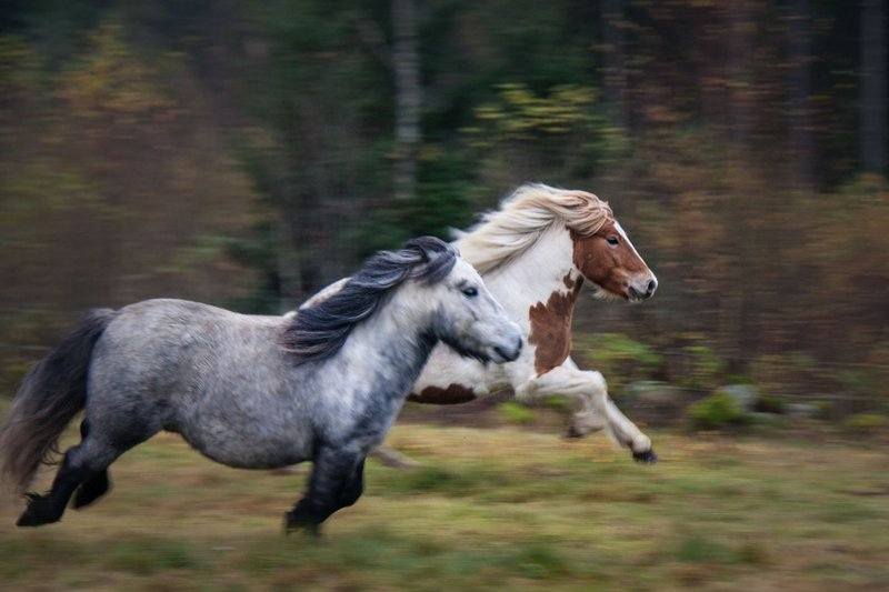 Fartfylld bild. Hästar i galopp över ett fält.