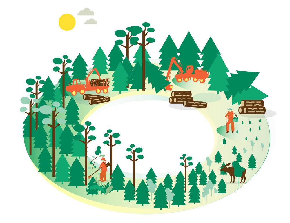 Skogbrukscirkeln visar hur skogen sköts från plantering till skörd.