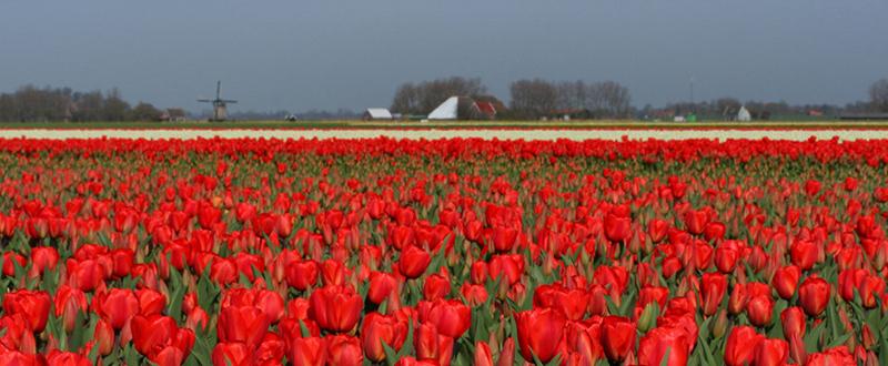 Holland i blomsterskrud, april - maj 2020
