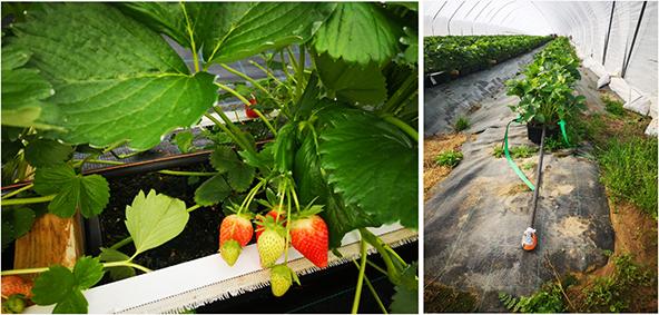 Högsäsong för jordgubbar