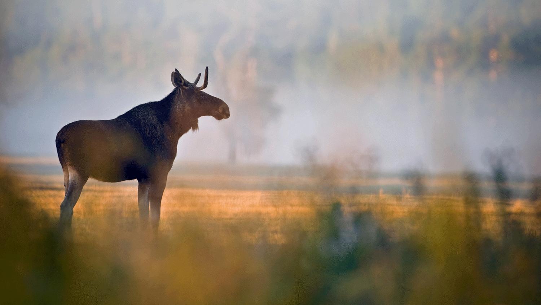 Miljöbild av älg som står på ett fält i gryning