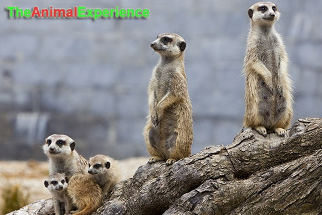 £24.99 instead of £53 for a meerkat & birds of prey experience or £39.99 for 2 at the Animal Experience & Raptor Foundation - save up to 53%