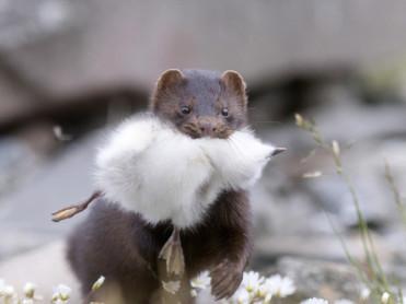 Høysesong for jakt på mink