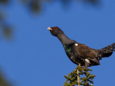 Svært positiv utvikling av skogsfugl