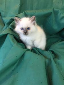 S*Ziblora's Maybellene a född 17/3-2020 8 v gammal