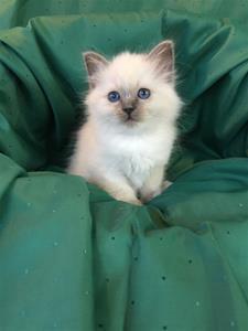 S*Ziblora's Moody Blue a född 17/3-2020 8 v gammal