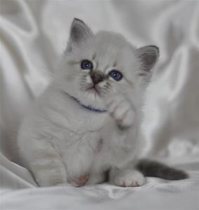 S Ziblora´s Rocky Raccoon blåtabbymaskad  5½vecka gammal