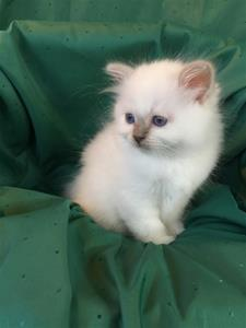 S*Ziblora's Marguerita c född 17/3-2020 8 v gammal