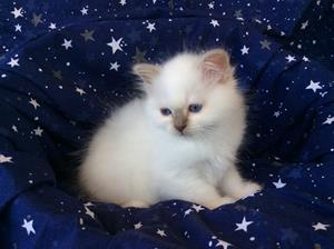 S*Ziblora's Marguerita c född 17/3-2020 9 v gammal