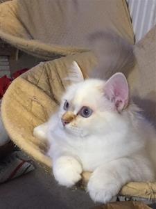S*Ziblora's Loretta SBI b21 född 23/4-19 ca 4,5 månad gammal
