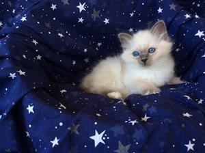 S*Ziblora's Moody Blue a född 17/3-2020 9 v gammal
