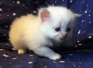 S*Ziblora's Marguerita c född 17/3-2020 4 v gammal
