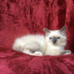 S*Ziblora's Moody Blue a född 17/3-2020 12v gammal
