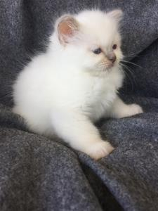 S*Ziblora's Marguerita c född 17/3-2020 7 v gammal