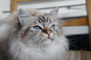 IC Princess Adeliz av Ontario*N SBI b född 22/10-15 (2,4 år)