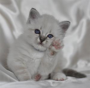S Ziblora´s Rocky Raccoon blåtabbymaskad  5½vecka gammal (2)