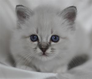 S Ziblora´s Rocky Raccoon blåtabbymaskad  5½vecka gammal (6)