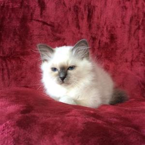 S*Ziblora's Maybellene a född 17/3-2020 12v gammal