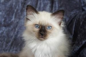 S*Ziblora's Mademoiselle n född 4/3-19  10,5v