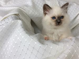S*Ziblora's Maybellene a född 17/3-2020 11v gammal