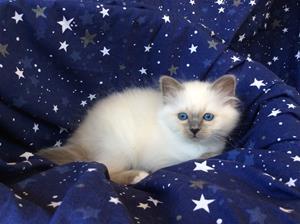 S*Ziblora's Moody Blue a född 17/3-2020 9v gammal