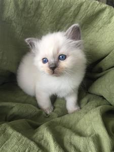 S*Ziblora's Moody Blue a född 17/3-2020 6 v gammal