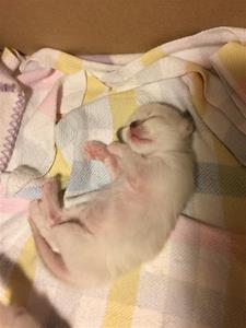 S*Ziblora's Sibylla b född 8/9-19 2,5v gammal