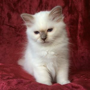 S*Ziblora's Marguerita c född 17/3-2020 12v gammal
