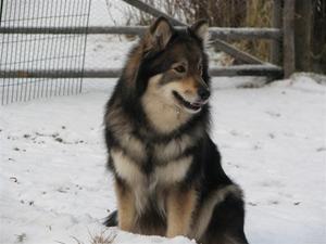 Troya njuter i snön