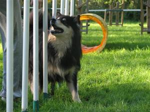 Nikki tränar agility